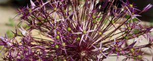 Audacious Alliums