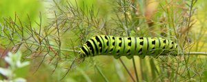 Life in the Garden - eastern black swallowtail larva on a dill plant A cicada