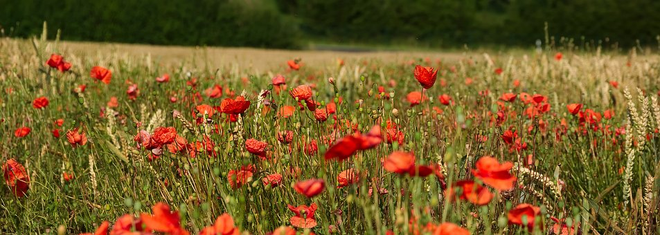 Remembrance Day - poppy field