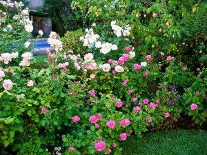 Rose Bush in Santiago Chili