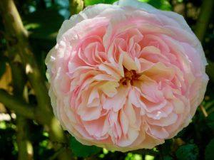 Closeup of rose in Rose Garden in Santiago Chili