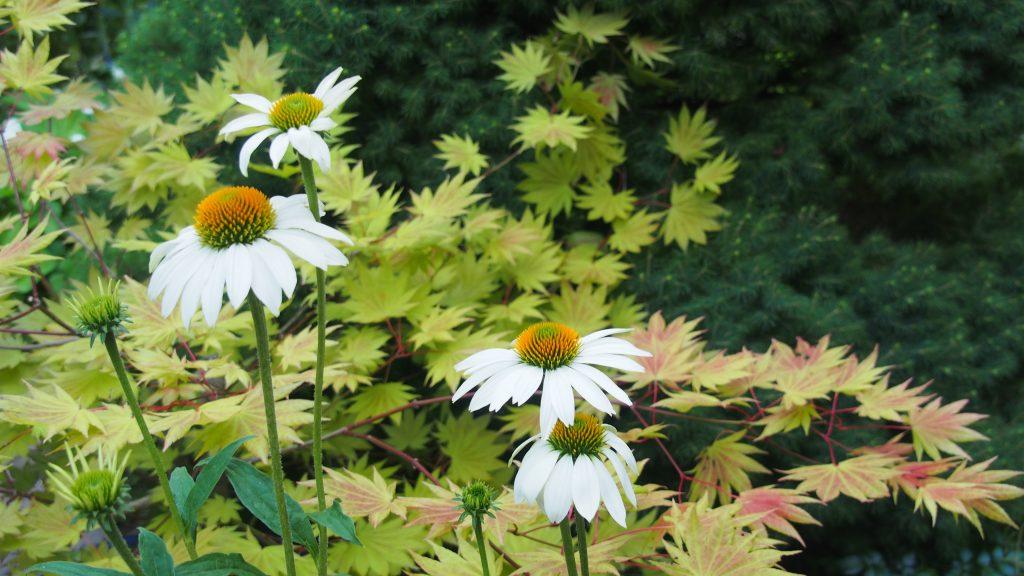 Echinacea Pow Wow white