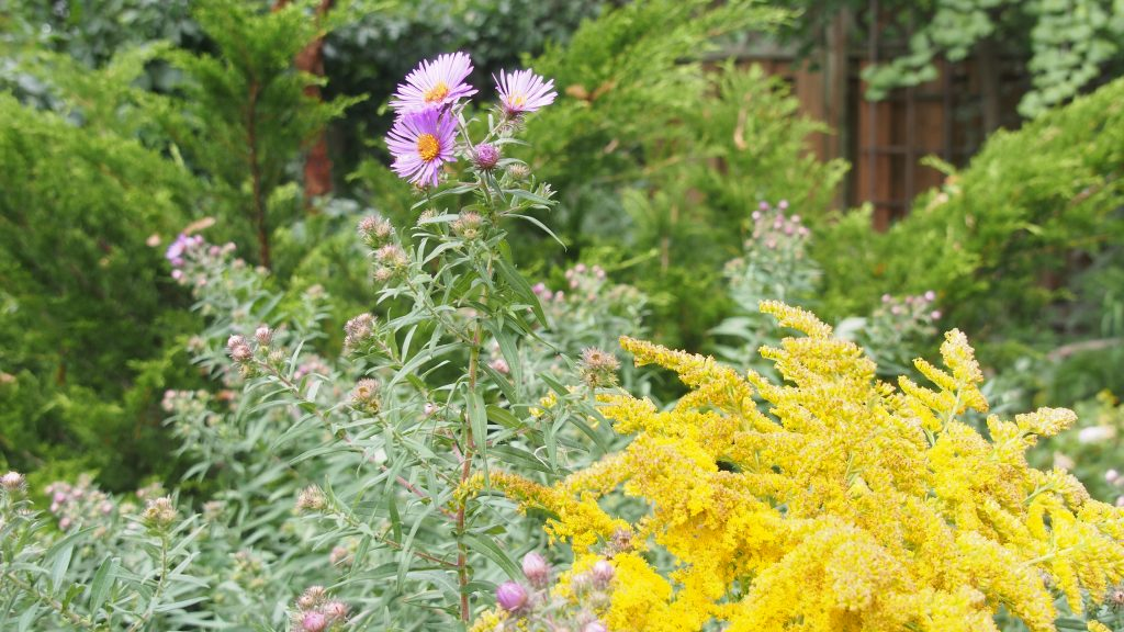 Goldenrod and fall aster