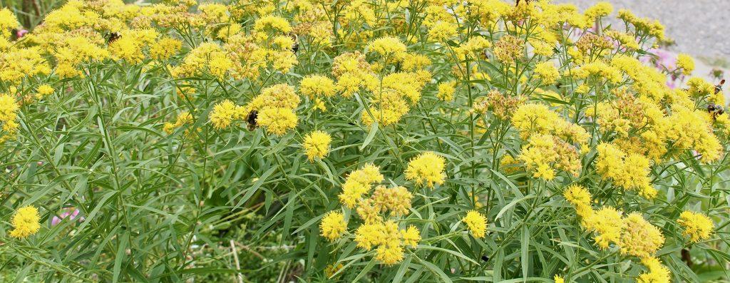 Narrow leaf goldenrod