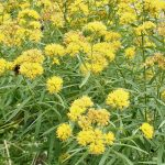 Narrow leaf goldenrod